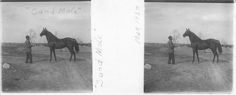 Sand Mole (1912), cheval de course d'origine américaine à robe baie vu de profil et homme sur un chemin. Pedigree : Rock Sand (1900) et Merry Token (1891)
