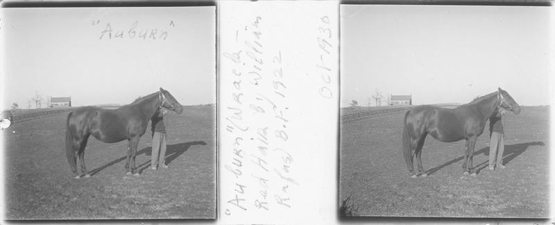 Auburn (1922), cheval de course d'origine américaine à robe baie vu de profil et homme dans un pré. Pedigree : Wrack (1909) et Red Hair II (1911)