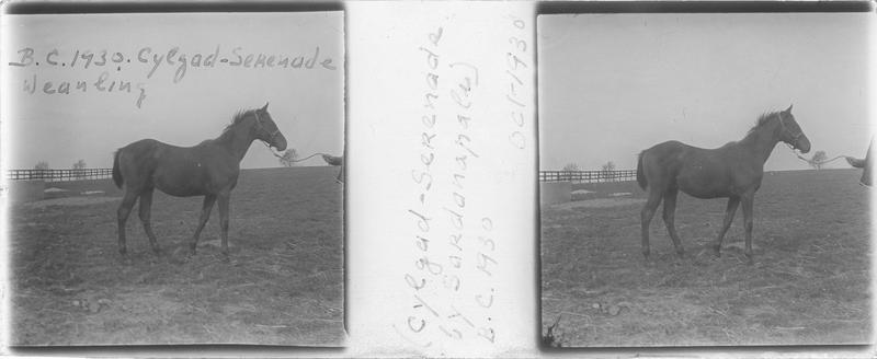 Cylgad (1930), poulain vu de profil et homme dans un pré. Pedigree : Serenade