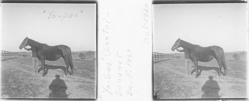 Yo-San (1921), cheval de course vu de profil et homme dans un enclos. Pedigree : Santoi et Benanet (1909)