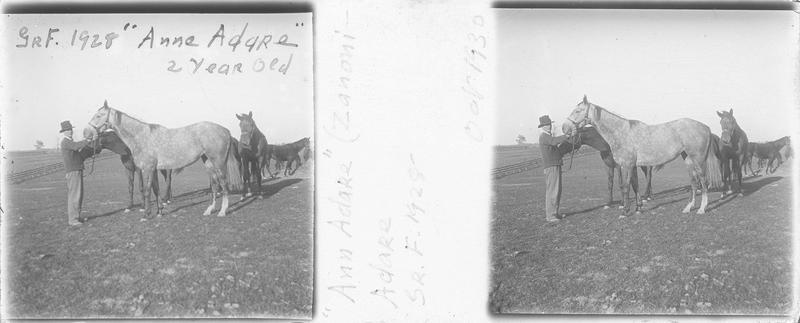 Ann Adare (1928), cheval de course vu de profil et homme dans un pré. Pedigree : Zanoni et Adare