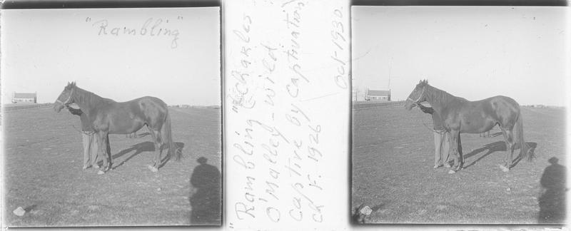 Rambling (1926), cheval de course vu de profil et homme dans un pré. Pedigree : Charles O'Malley (1907) et Wild Captive
