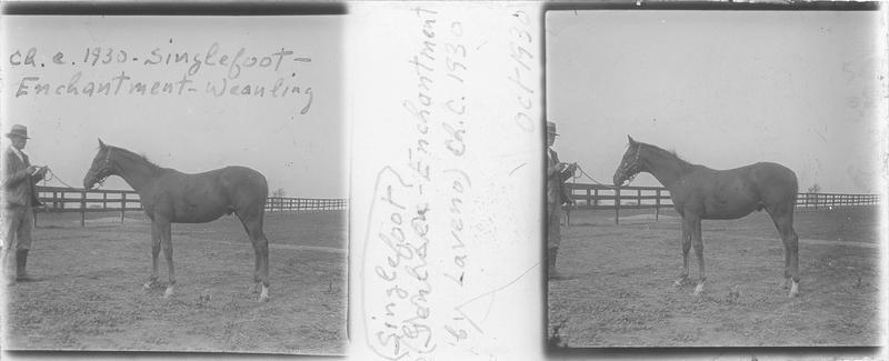 Singlefoot (1930), poulain vu de profil et homme dans un pré. Pedigree : Enchantment et Weanling