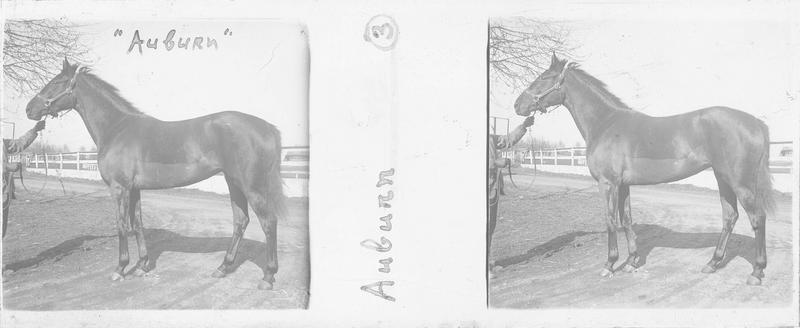 Auburn (1922), cheval de course d'origine américaine à robe baie vu de profil sur un chemin. Pedigree : Wrack (1909) et Red Hair II (1911)