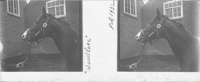 Tête de Woodlore, cheval de course vu de profil