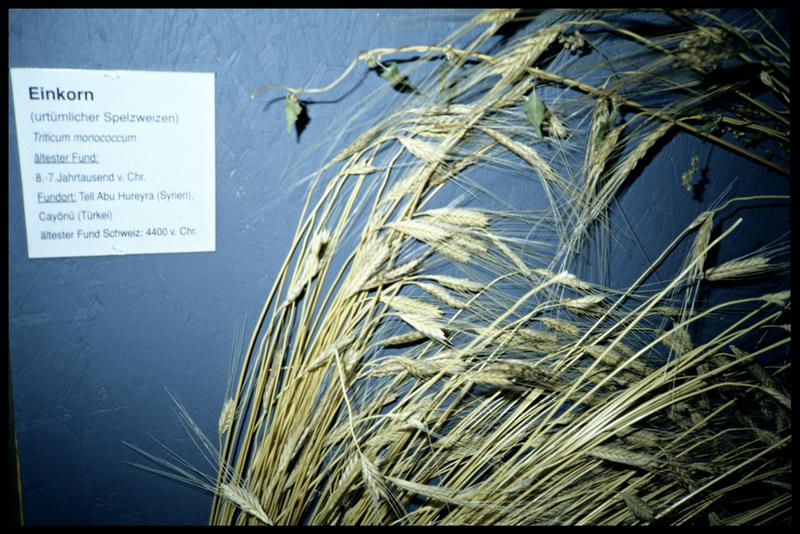 Vue d'un variété de blé.