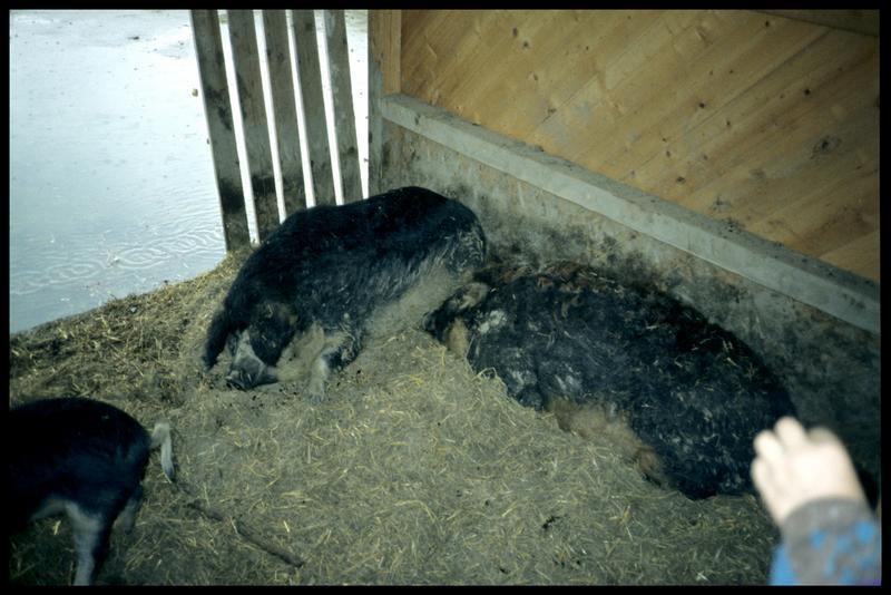 Vue de porcs semblables à ceux du Néolithique.