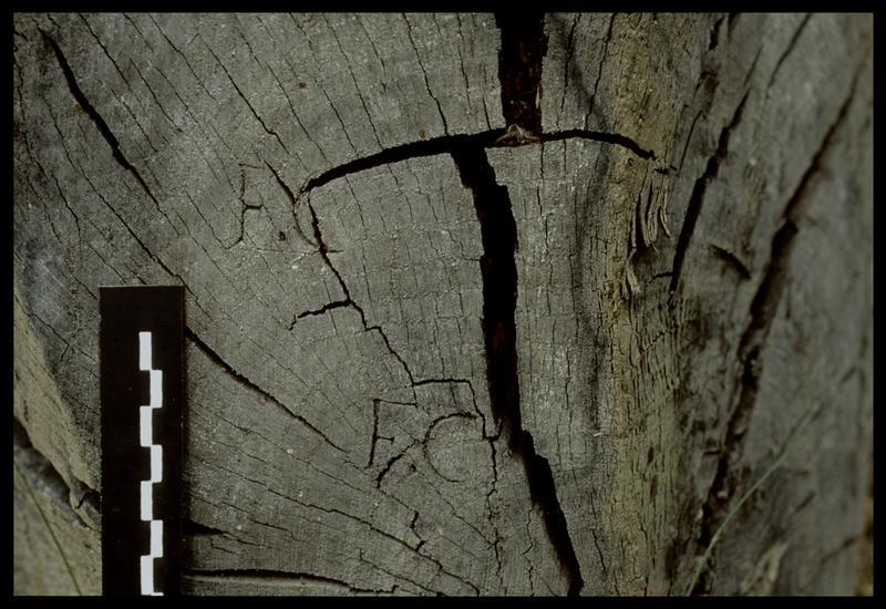 Vue des marques F.C sur un bois sorti par l'entreprise Berthet (fouille E. Rieth).