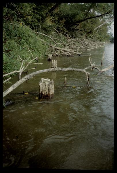 Vue de trois pieux de bois en aval sur la rive gauche (fouille E. Rieth).