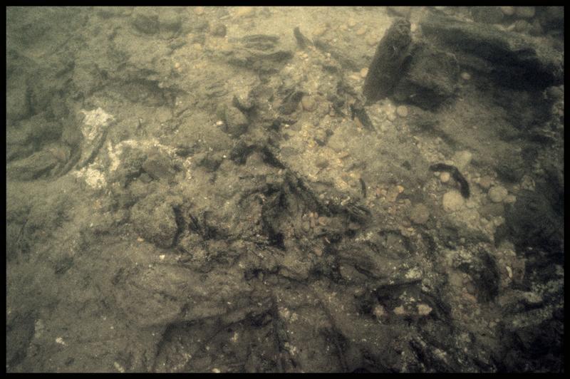 Vue sous-marine d'un pieu de bois in situ et du substrat de débris organique (fouille Y. Billaud/Drassm).