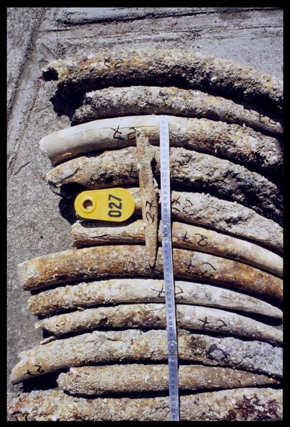 Vue de détail des défenses d'éléphant (fouille D. David).