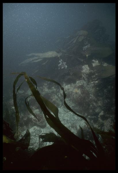 Vue sous-marine des algues sur le site (fouille D. David).