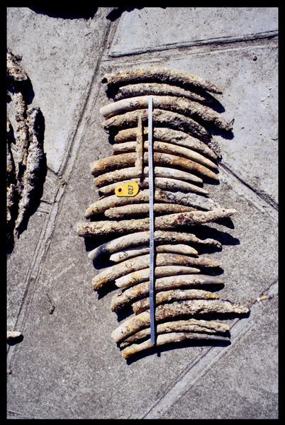 Vue des défenses d'éléphant (fouille D. David).