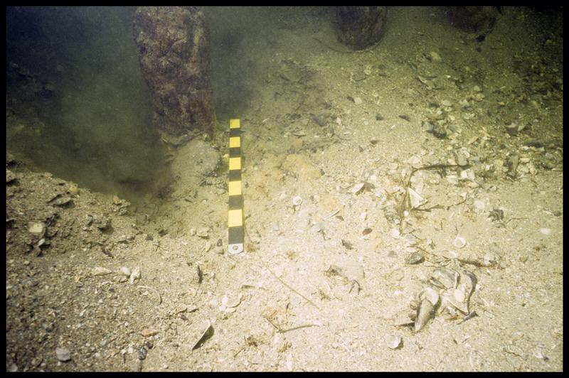 Vue sous-marine de la base d'un pieu de bois in situ (fouille F. Leroy/Drassm).