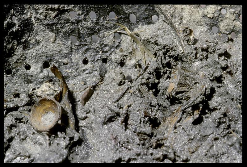 Vue de détail des arêtes de morue dans l'égouttoir de cuivre (fouille M. L'Hour/Drassm, E. Veyrat/Drassm).