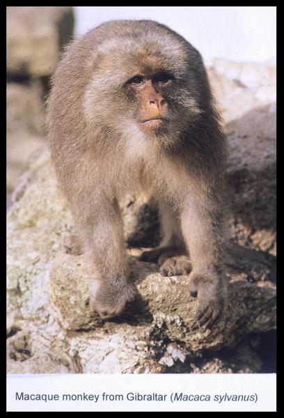Vue de la représentation d'un singe magot (fouille M. L'Hour/Drassm, E. Veyrat/Drassm).