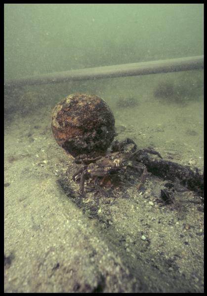 Vue sous-marine d'un élément métallique in situ défendu par un crabe (fouille M. L'Hour/Drassm, E. Veyrat/Drassm).