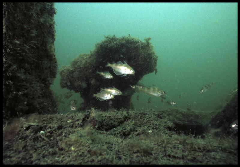 Vue sous-marine des poissons sur la carène(fouille M. L'Hour/Drassm, E. Veyrat/Drassm).