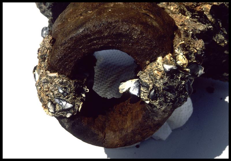 Vue d'un élément de bois dans une concrétion métallique (fouille M. L'Hour/Drassm, E. Veyrat/Drassm).