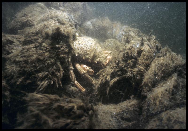 Vue sous-marine d'un cordage in situ avec un crabe niché (fouille M. L'Hour/Drassm, E. Veyrat/Drassm).