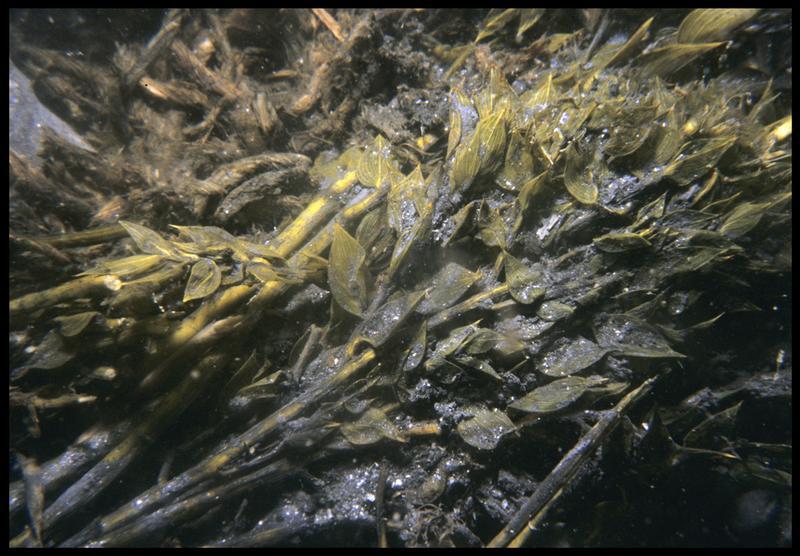 Vue sous-marine de détail de rameaux de feuillage in situ (fouille M. L'Hour/Drassm, E. Veyrat/Drassm).