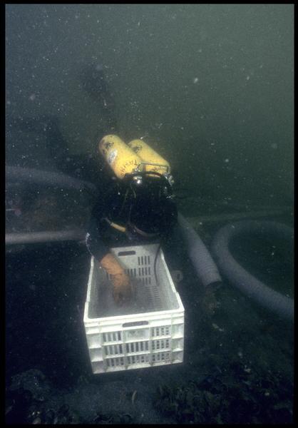 Vue sous-marine d'un plongeur ramassant le matériel pour le remonter (fouille M. L'Hour/Drassm, E. Veyrat/Drassm).