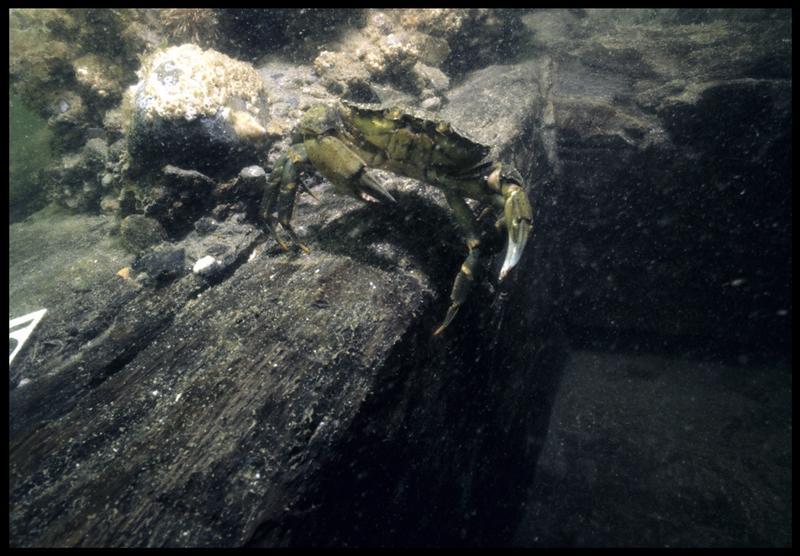 Vue sous-marine d'un crabe sur la carène (fouille M. L'Hour/Drassm, E. Veyrat/Drassm).