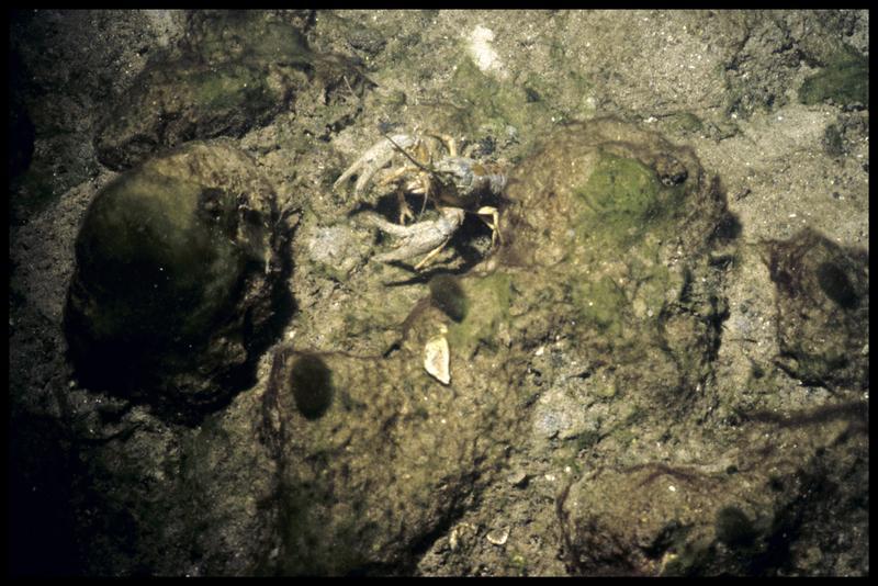 Vue sous-marine d'un écrevisse sur la site (fouille A. Marguet/Drassm).