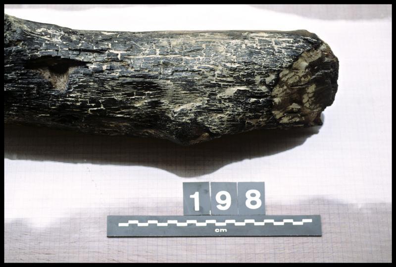 Vue de détail du pieu de bois 198 (fouille A. Marguet/Drassm).