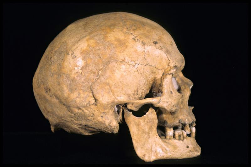 Vue du profil droit d'un crâne humain (CNRAS).