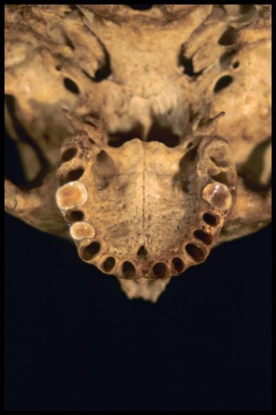 Vue de détail de dessous de la machoire supérieure d'un crâne humain (CNRAS).