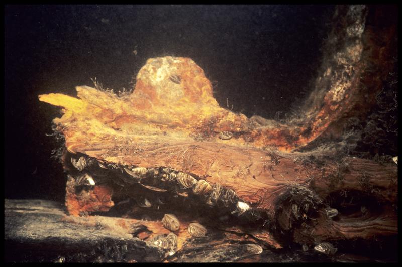Vue sous-marine d'une pièce de la carène métallisée in situ (fouille E. Rieth).