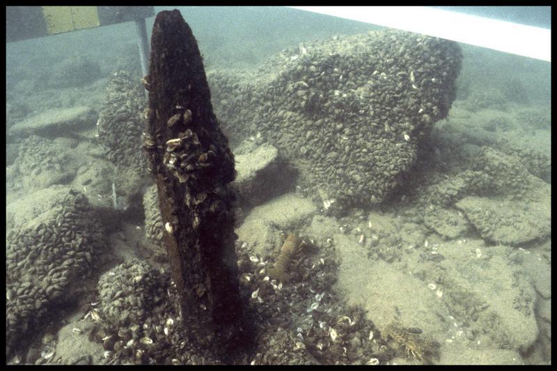 Vue sous-marine d'un pieu de bois in situ (fouille A. Marguet/Drassm).