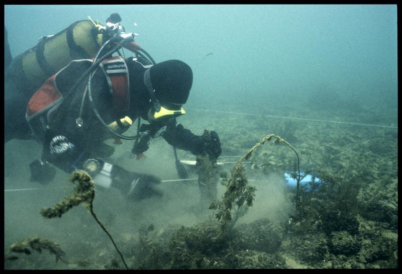Vue sous-marine d'un plongeur effectuant les mesures d'un pieu de bois (fouille A. Marguet/Drassm).