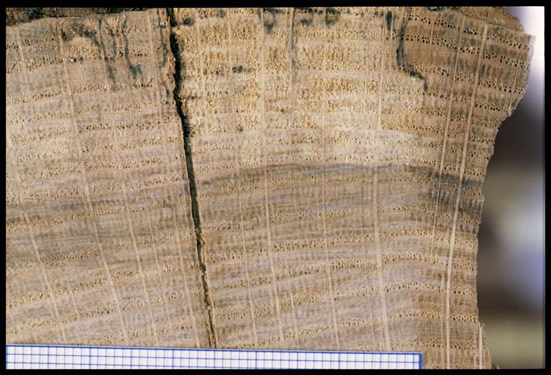 Vue de détail d'un rondin de chêne (CNRAS).