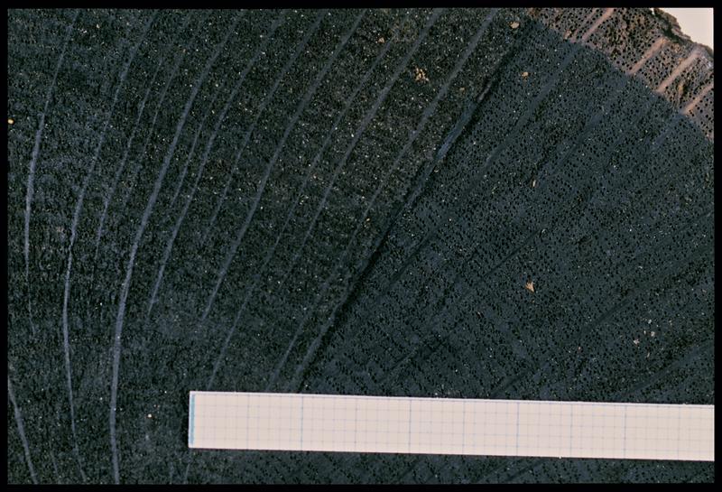 Vue de détail d'un rondin de chêne néolithique (CNRAS).