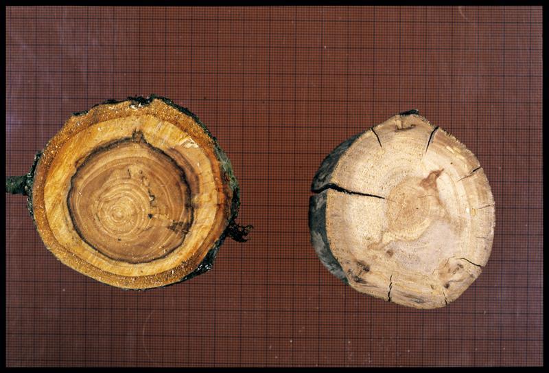Vue de deux rondins de pommier (CNRAS).