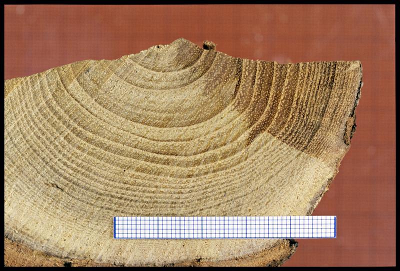 Vue d'un fragment de rondin de robinier (CNRAS).