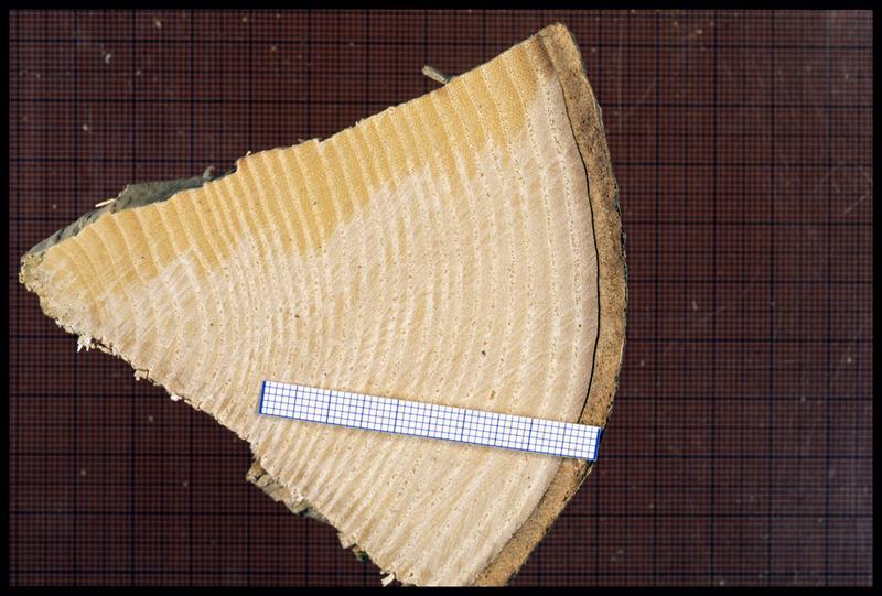 Vue d'un fragment de rondin de frêne (CNRAS).