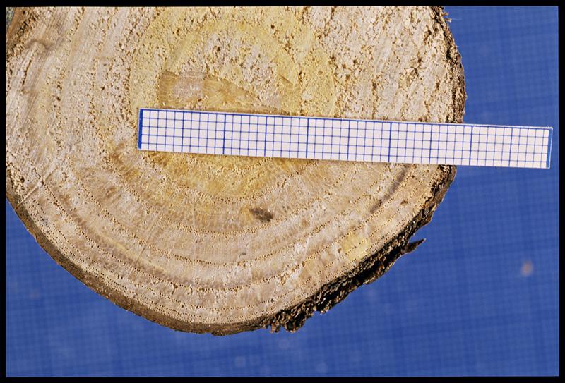 Vue de détail d'un rondin de châtaignier (CNRAS).
