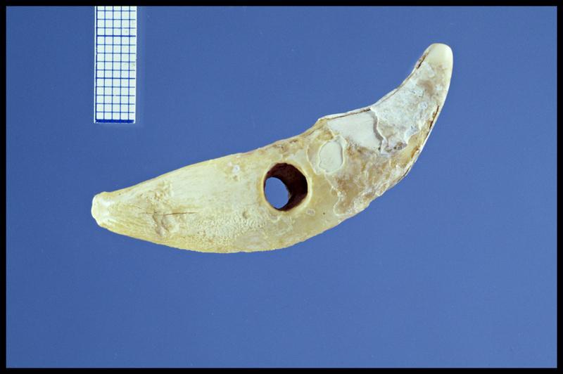 Vue d'une perle en dent animal (fouille Y. Billaud/Drassm).