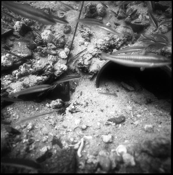 Vue sous-marine des girelles sur le site (fouille R. Lequément).