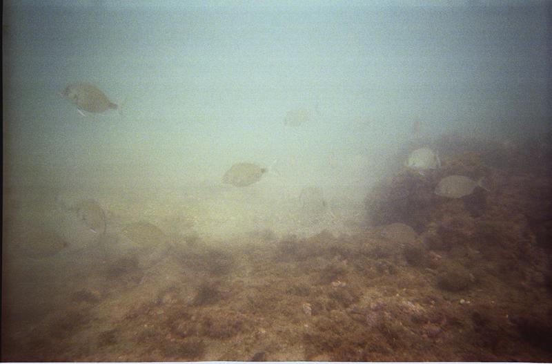 Vue sous-marine des poissons autour du site (fouille M. Guyon).