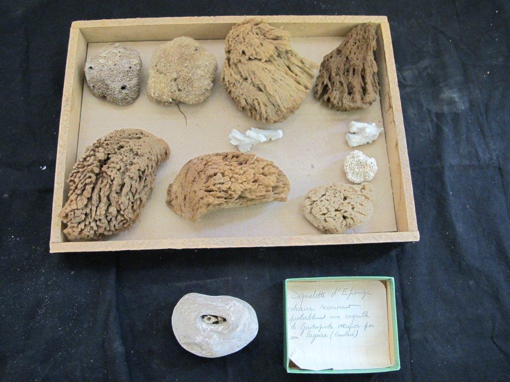 ensemble (11) de la collection des éponges naturalisés