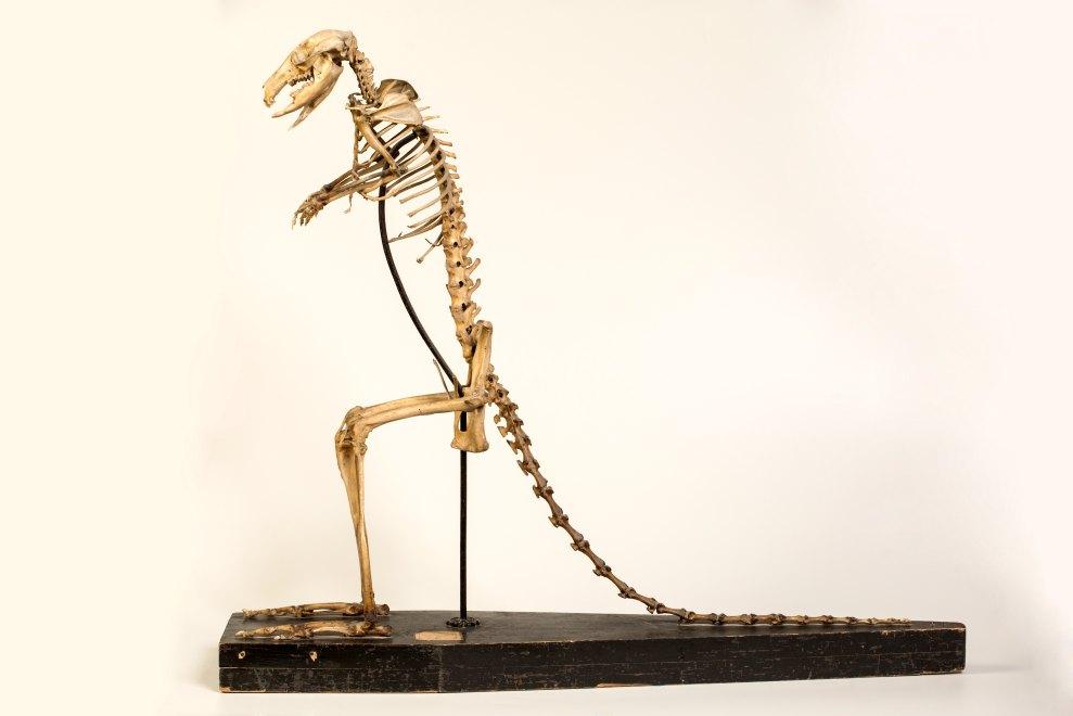 Ensemble (37) de la collection de squelettes d'animaux
