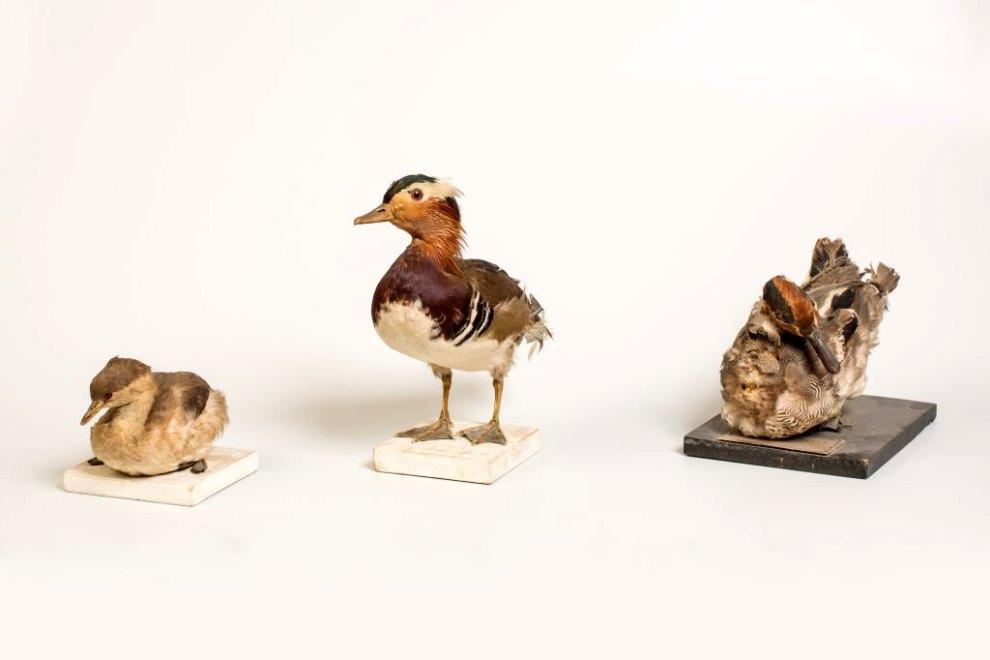 ensemble (27) de la collection d'oiseaux naturalisés : oiseaux aquatiques