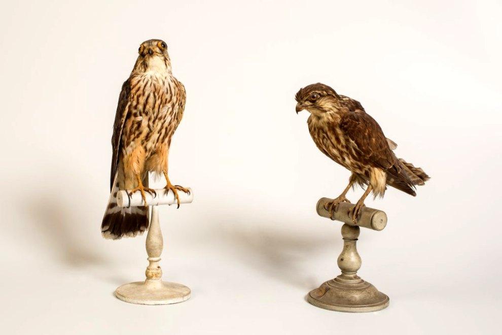 Ensemble (13) de la collection d'oiseaux naturalisés: oiseaux de proie