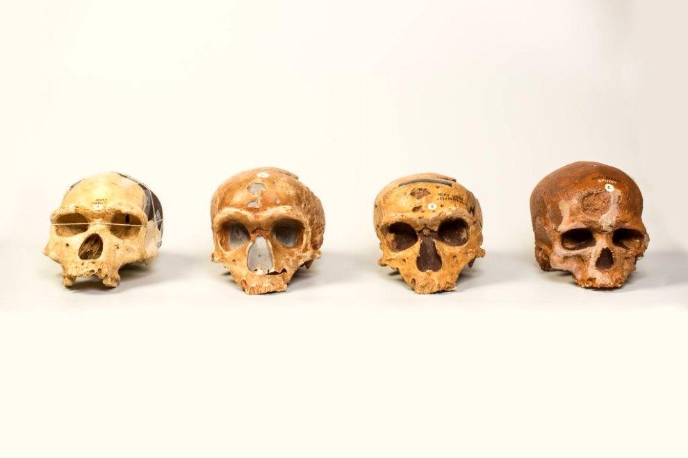 Ensemble (16) de la collection de crânes humains