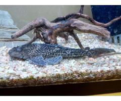 Se vende Plecostomus (Hypostomus plecostomus)