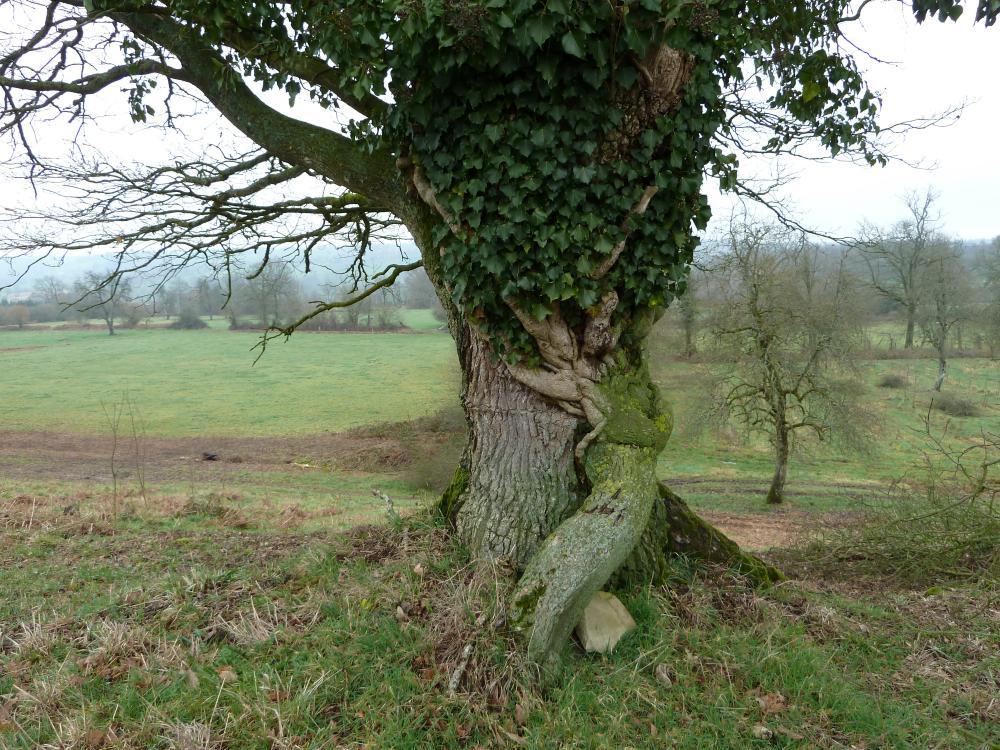 25 février 2011, un vieux lierre sur un encore plus vieux chêne.